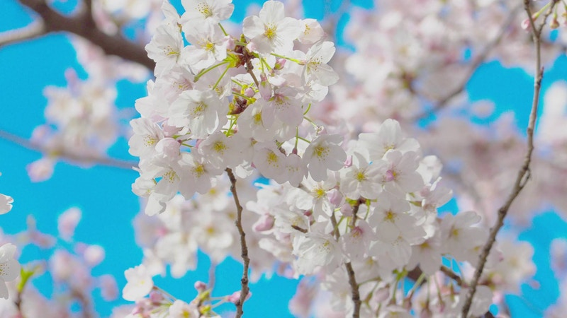 Sakura footage and animation